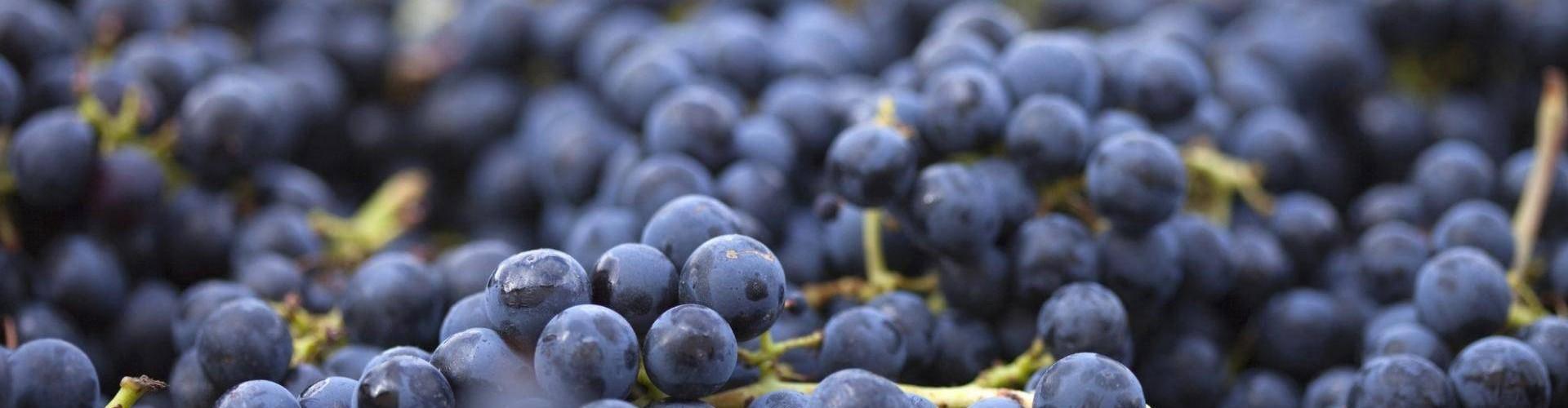 Le uve Nebbiolo valtellinesi da cui si ottiene lo Sforzato di Valtellina DOCG